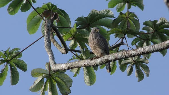 Hawk Adult Lone Perched Dry Season in Belize Central America