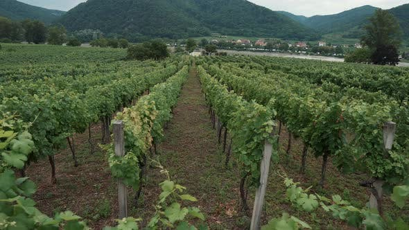 Rows of Green Grape Bushes on Plantation in Wachau Valley Austria