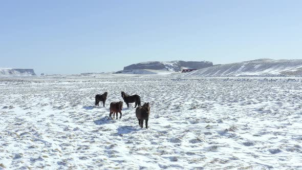 Thumbnail for Wild Icelandic Horses in Snowy Conditions With Beautiful Iceland Landscape
