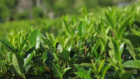 Thumbnail for Sun Lights Tender Twigs of Tea Bushes Closeup Slow Motion