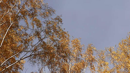 Falling Automne Feuilles jaunes