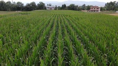 Corn Field Rural Aerial Drone