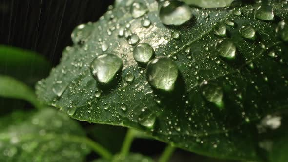 Thumbnail for Rain splashing on leaf in macro viewing droplets of water