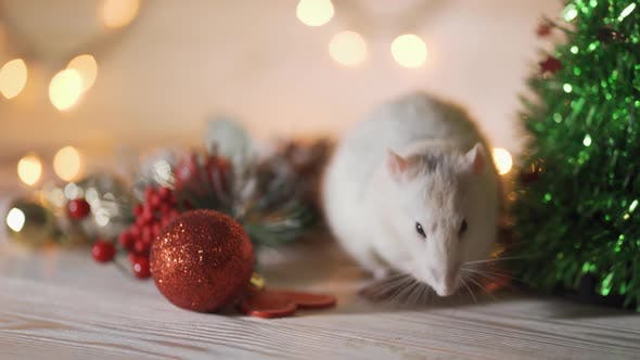 Thumbnail for New Year Concept. Cute White Domestic Rat in a New Year's Decor. Symbol of the Year 2020 Is a Rat in