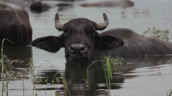 Thumbnail for Animals of Sri Lanka. Buffalos in the Lake.