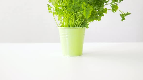 Thumbnail for Green Parsley Herb in Pot on Table