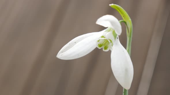 Shallow DOF lonely  snowdrop plant  in the garden 4K 2160p UHD natural footage - Galanthus nivalis s