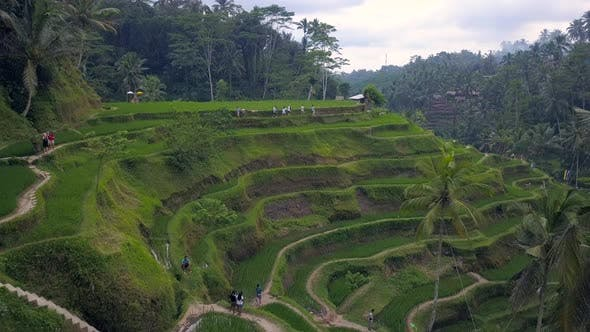 Thumbnail for Aerial View Above of Bali Landscapes with Terraces Rice Fields.