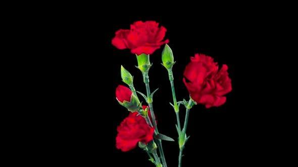 Carnation flowers blossom