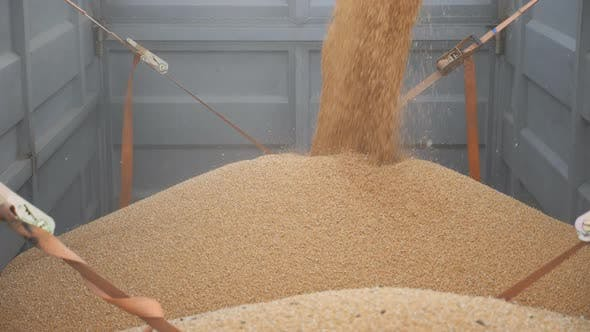 Thumbnail for Combine Loading Wheat Grains in Truck After Harvesting. Close Up Pouring of Fresh Rye Into Trailer