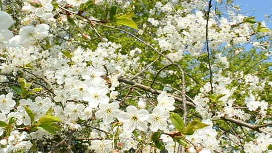 Thumbnail for Plum Blossoms