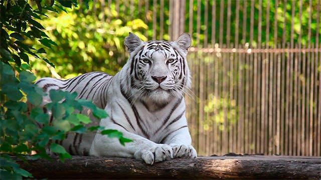 Thumbnail for White tigress