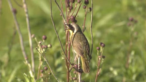 Common Yellowthroat Male Bird or Songbird Perched Looking Around Summer