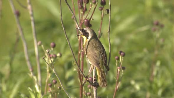 Thumbnail for Common Yellowthroat Male Bird or Songbird Perched Looking Around Summer