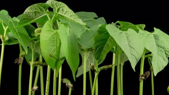 Thumbnail for Green Beans Growing on Black Background