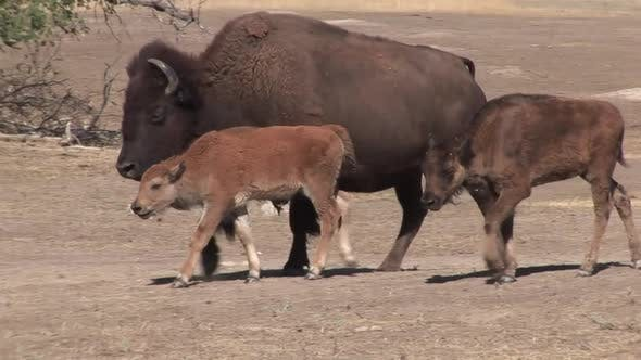 Bison Cow Female Adult Calf Walking Moving in Summer Young Old Calf Red Brown Bare Ground