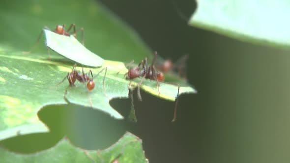 Leaf Cutter Ants Several Cutting in Belize Central America