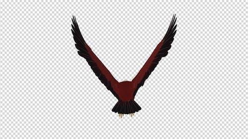 Brahminy Kite - 4K Flying Loop - Back View