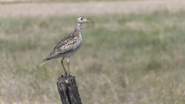 Thumbnail for Upland Plover Adult Lone Breeding in Spring Calling Sandpiper in South Dakota