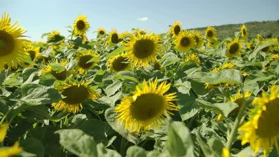 Thumbnail for Sunflower Field 04