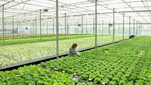 Thumbnail for Aerial Footage in a Greenhouse with Modern Agriculture Technology