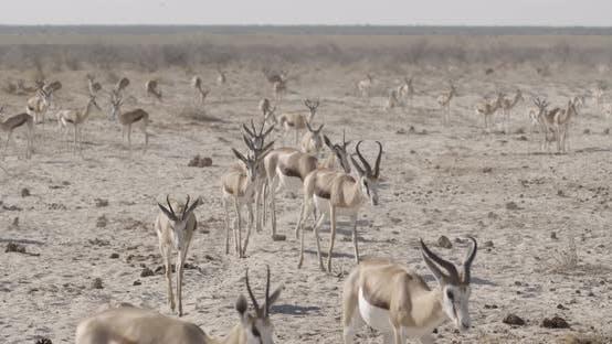 Thumbnail for Springbok Herd Walking Towards Waterhole