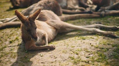 Adult eastern grey kangaroo lying on the grass. BMPCC 4K