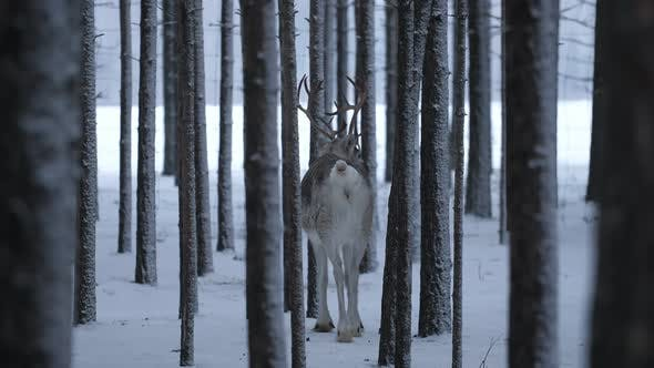 Thumbnail for White Deer Standing and Looking at Passing Cars From a Pine Forest in Finland