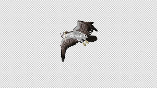 Snake Eagle with Caught Serpent - Flying Transition - III