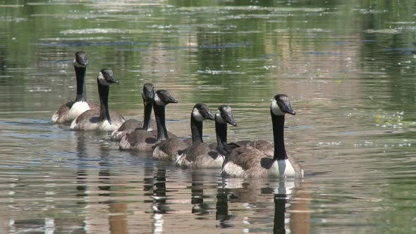 Canada Goose Adult Young Family Swimming in Summer in South Dakota