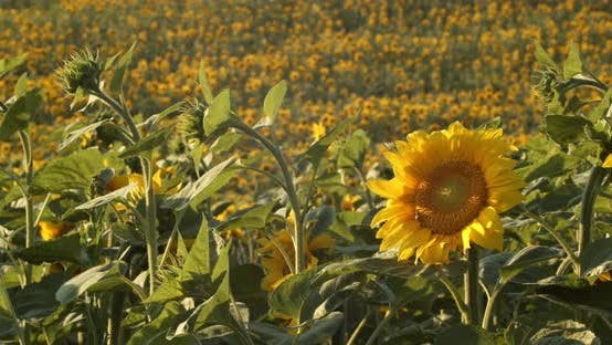 Sunflowers In Summer Field. Beautiful Big Yellow Sunflower Flowers Sways In Wind