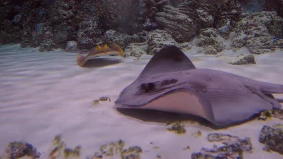 Stingrays unter Wasser