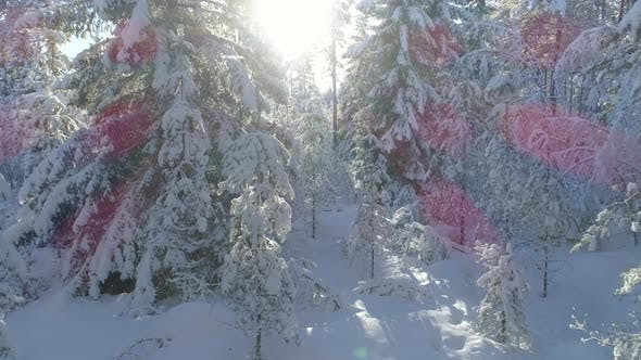 Thumbnail for Forest in Winter