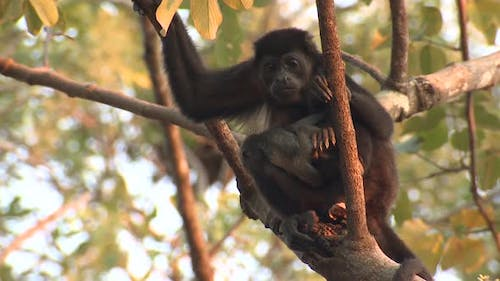 Mantled Howler Female Adult Young Baby Pair Sitting Looking Around