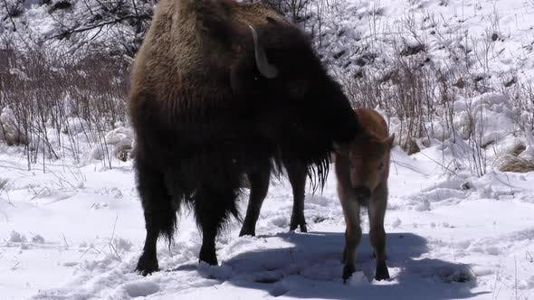 Thumbnail for Bison Cow Female and Young Calf Baby Pair Grooming in Spring Snow