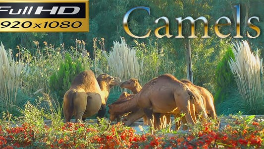 Thumbnail for Camels In The Zoo Park - Nature FULL HD