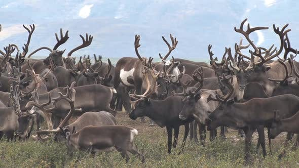 Thumbnail for Herd Of Reindeer Grazing On Background Of Mountain