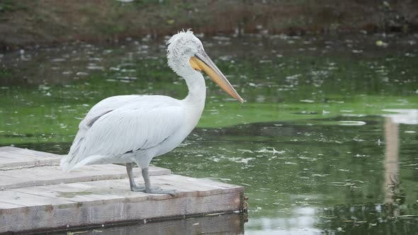 Thumbnail for Dalmatian Pelican, Pelecanus Crispus, Cleaning Its Feathers. Big Freshwater Bird.