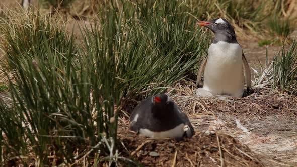 Gentoo Penguins On Their Nests