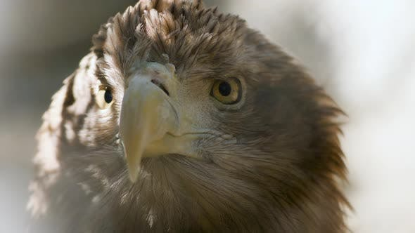 Thumbnail for Close up Of Golden Eagle