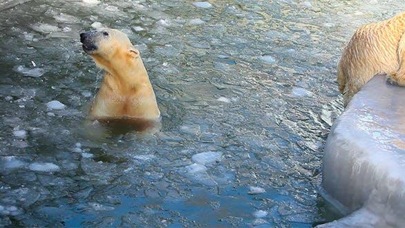 Thumbnail for Polar Bears