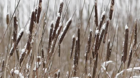 Thumbnail for Shore Cattail In Falling Snow V