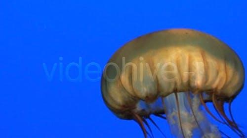 Jolly Jellyfish
