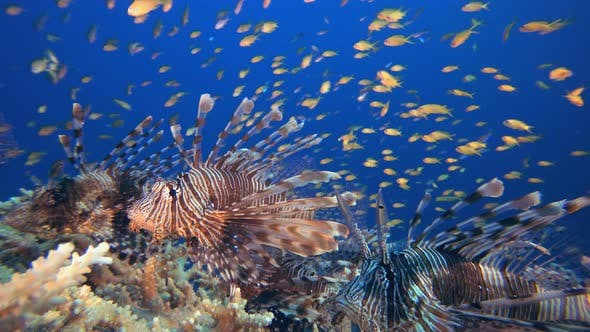 Cover Image for Underwater Lionfish Schooling