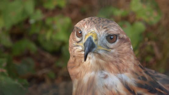 Thumbnail for Portrait of Golden Eagle Looks Around. Close-up
