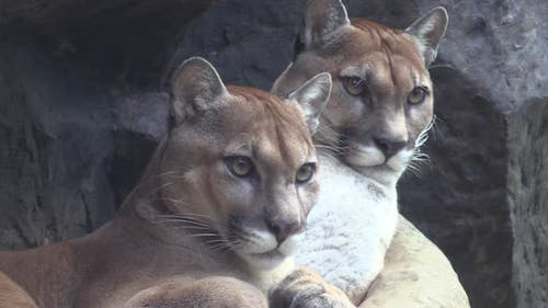 Mountain Lion Female Adult Immature Pair Resting Looking Around
