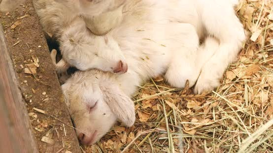 Thumbnail for Baby Sheep Sleeping in The Farm