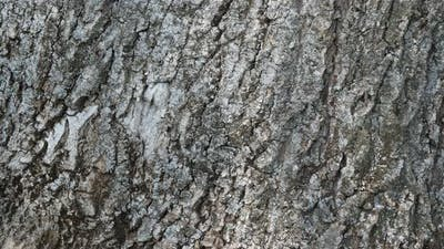 details of bark of  ash also known as European ash or common ash (Fraxinus excelsior)