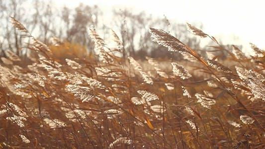 Thumbnail for Autumn Yellow Dry Stalks