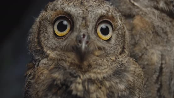 Close Up of a Cute Baby Owl Looking at the Camera, Studio Footage,